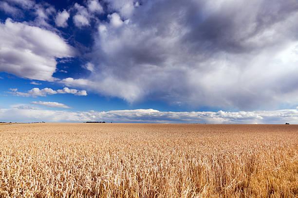 Vorüberziehende Wolken Weizen Feld mit – Foto