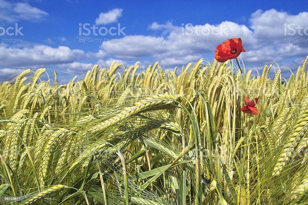 Campo di grano con poppies foto stock royalty-free