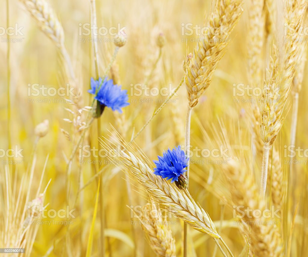 wheat field with single flowers royalty-free stock photo