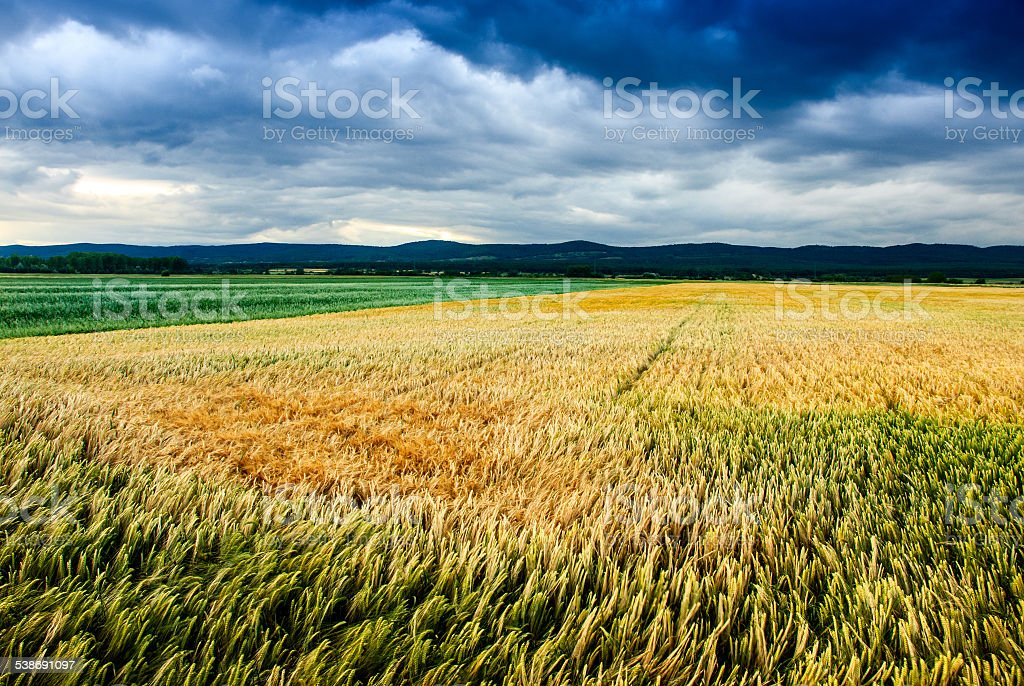 Wheat Field with storm clouds stock photo