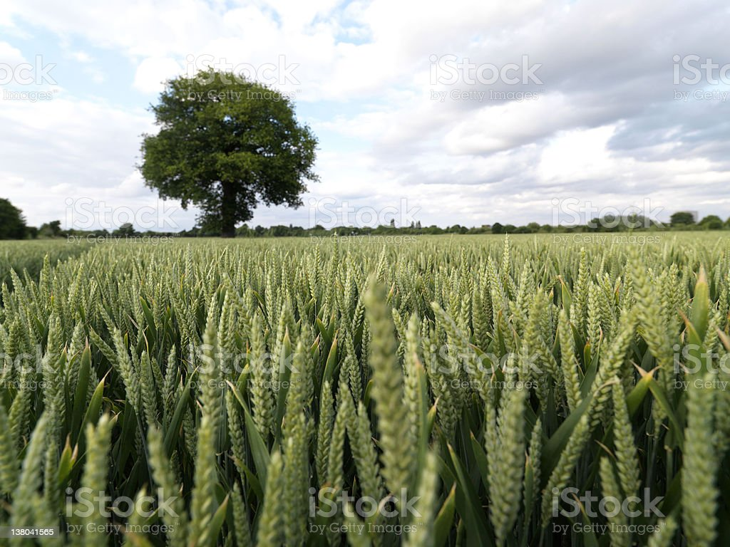 Wheat Field with Tree royalty-free stock photo