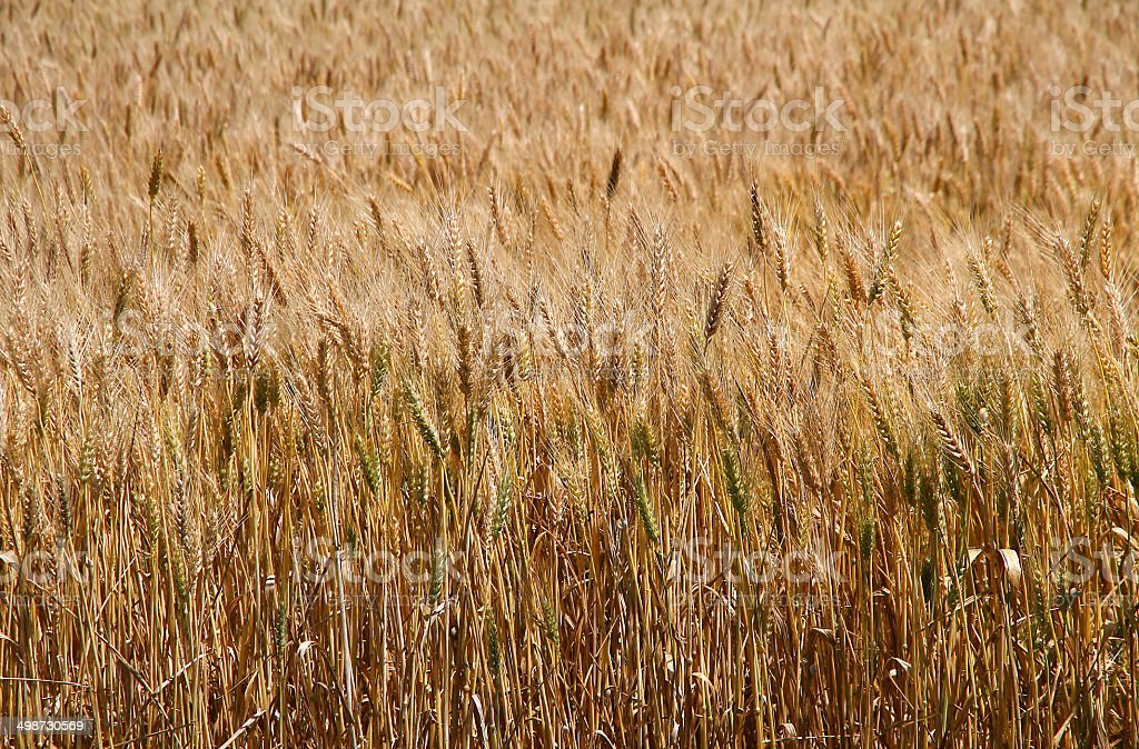 wheat field with yellow ripe ears next to the harvest stock photo