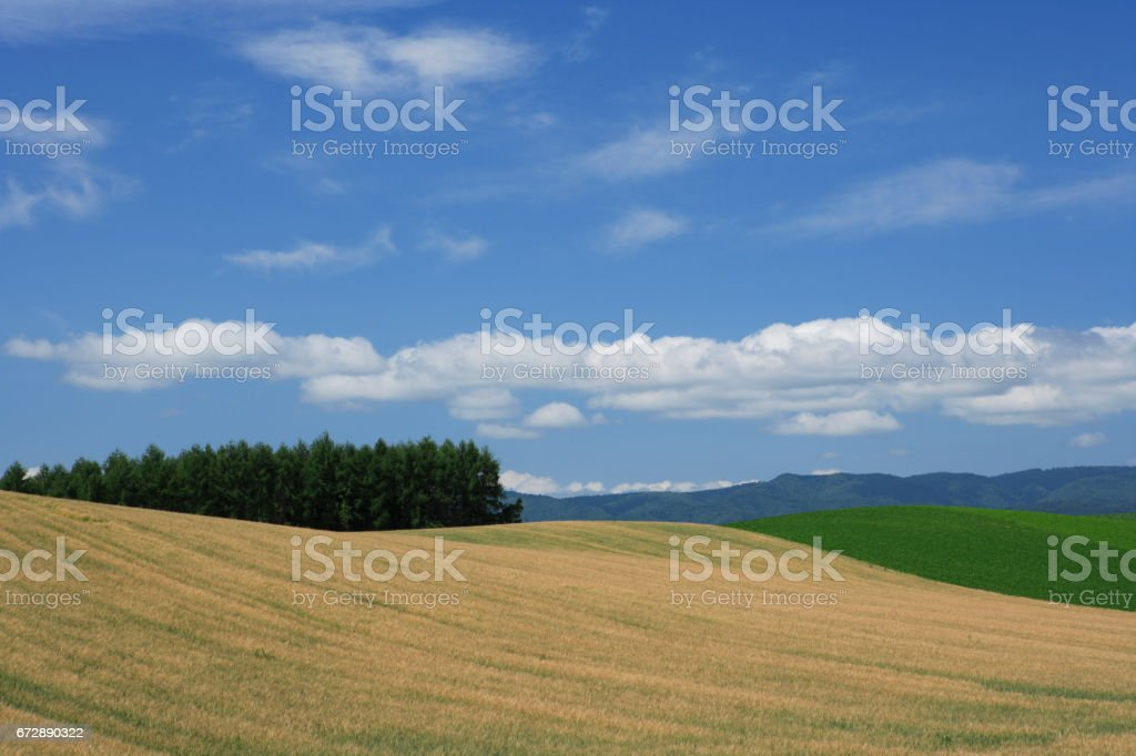 Wheat fields and blue sky stock photo