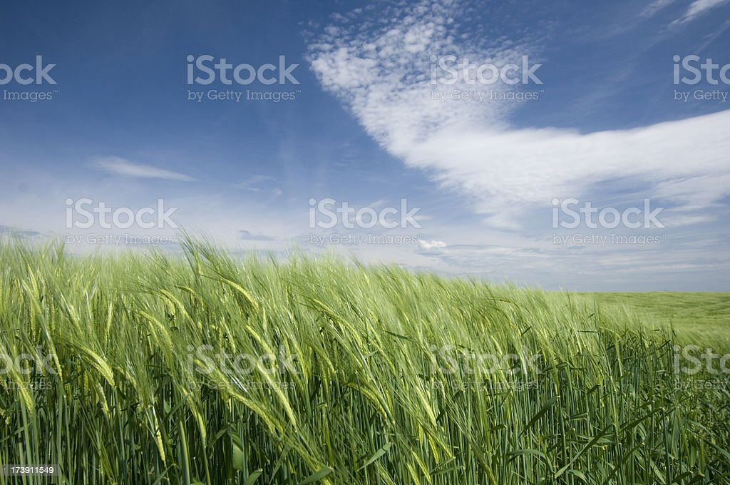 Wheat fields and sky stock photo