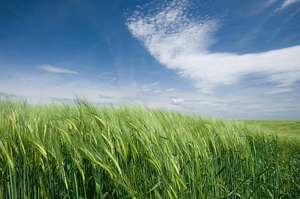 Los campos de trigo y cielo - foto de stock