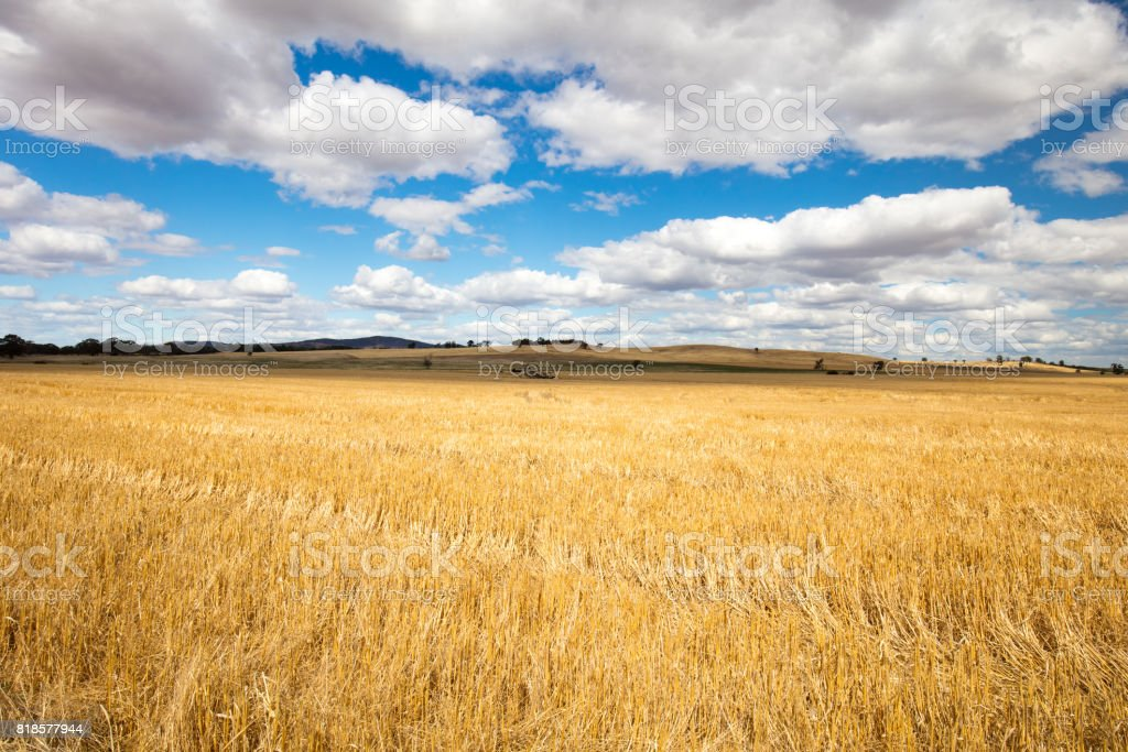 Wheat Fields in Moolort Plains stock photo