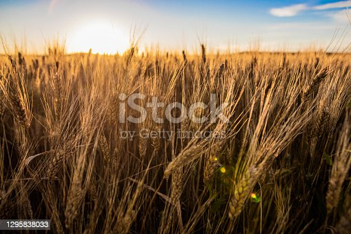 Wheat fields in North Dakota with sunflare in Dickinson, ND, United States