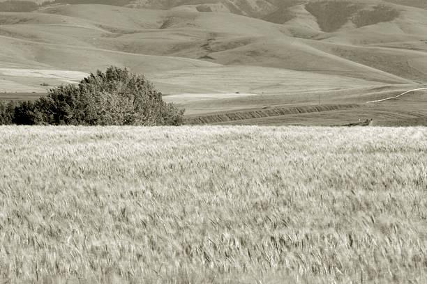 Weizen Felder, nahe Pendleton 4 – Foto