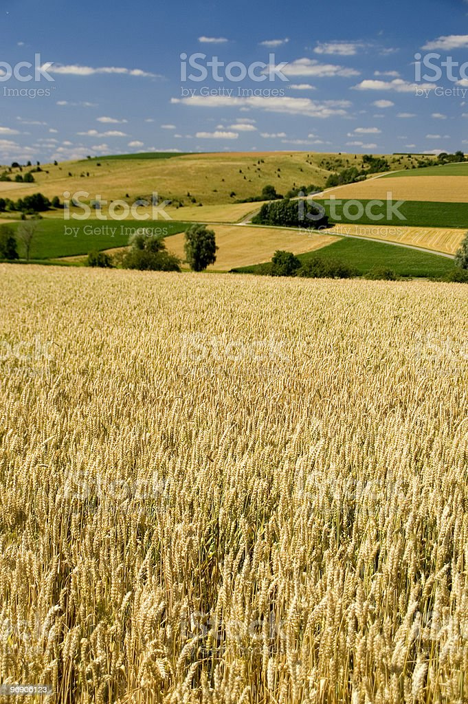 Wheat fields royalty-free stock photo