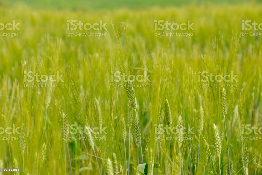Wheat fields, Tuscany stock photo
