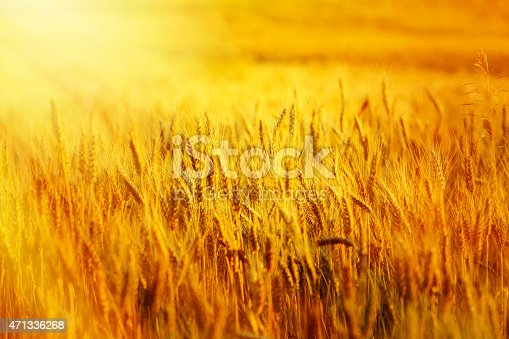 istock wheat filed at sunset 471336268