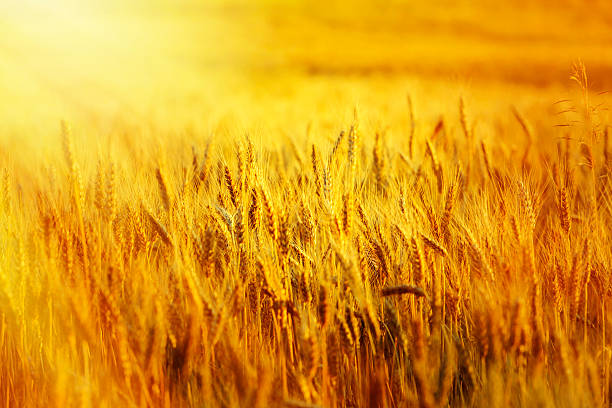 wheat filed at sunset stock photo