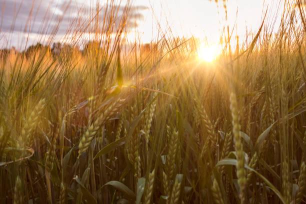 vete arkiverat i solnedgång - summer sweden bildbanksfoton och bilder