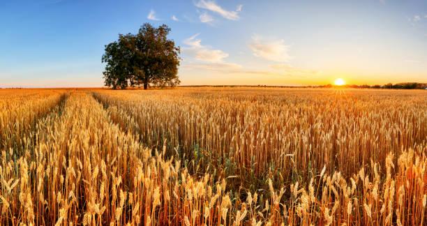 Weizenflohpanorama mit Baum bei Sonnenuntergang, ländliche Landschaft - Landwirtschaft – Foto