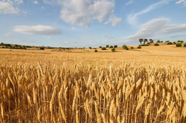 buğday flields - buğday stok fotoğraflar ve resimler