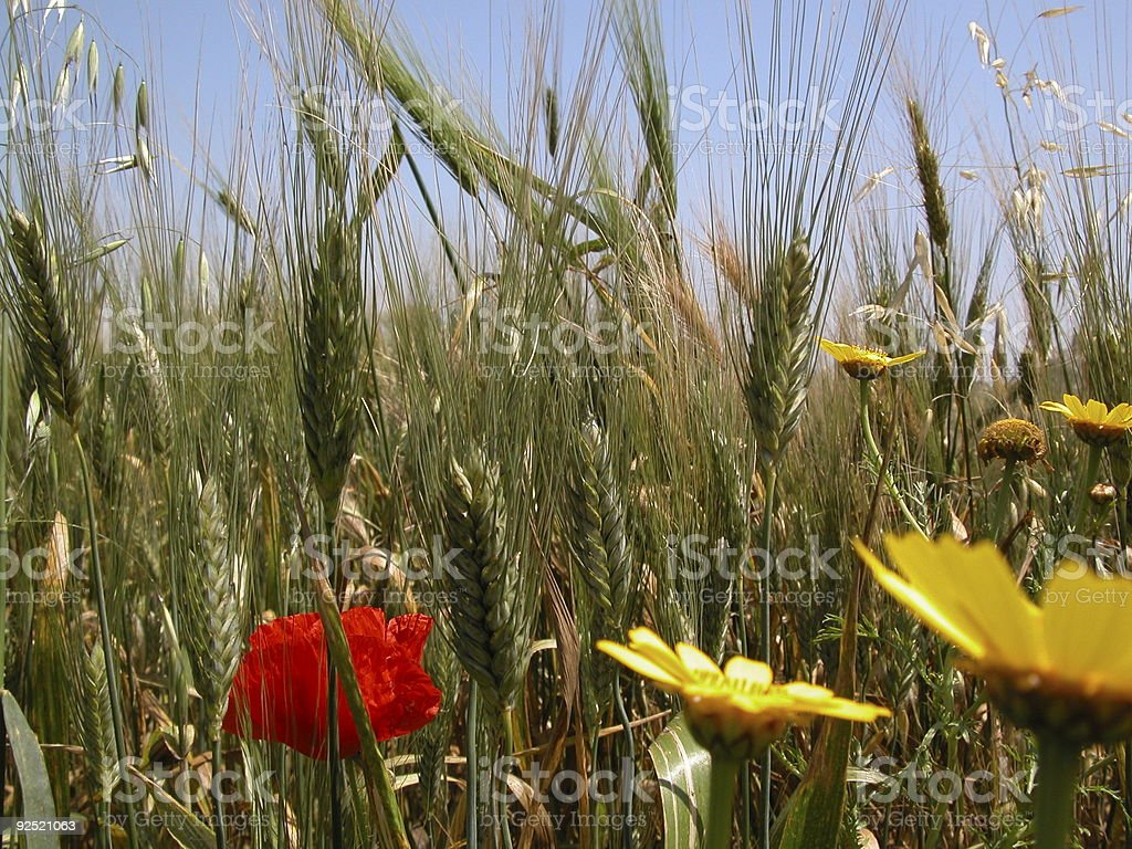 Wheat & Flora royalty-free stock photo