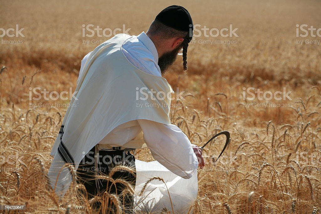 wheat for passover matzo harvest by orthodox Jews royalty-free stock photo