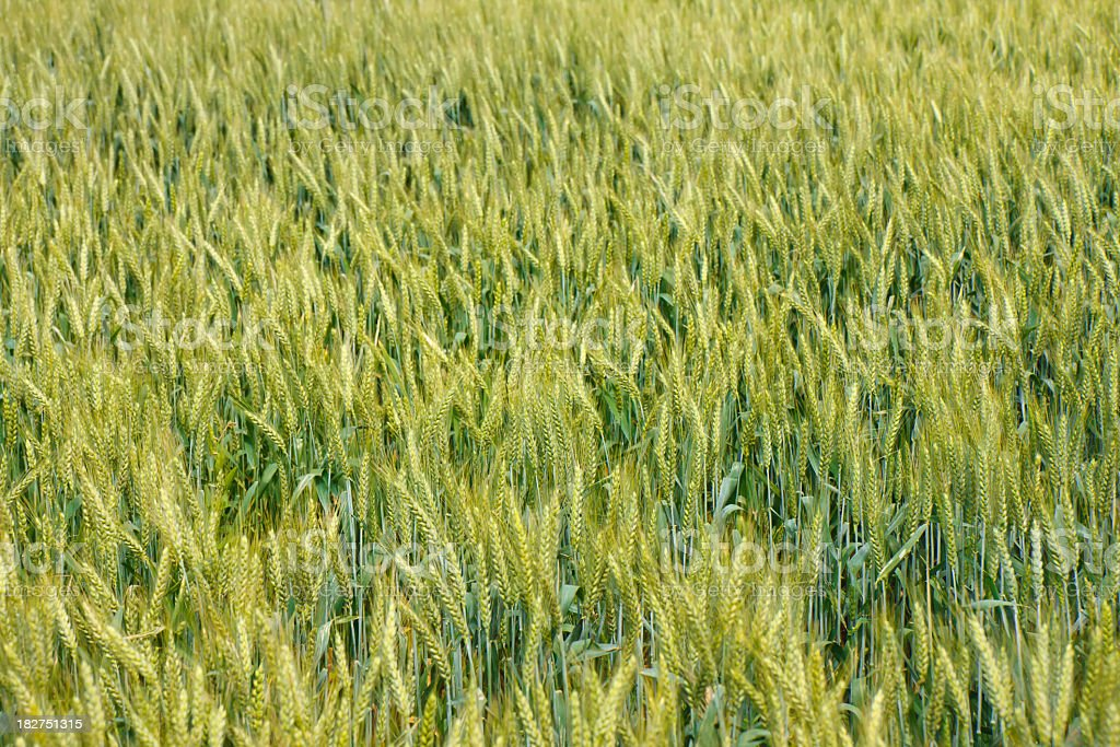 Wheat from above stock photo