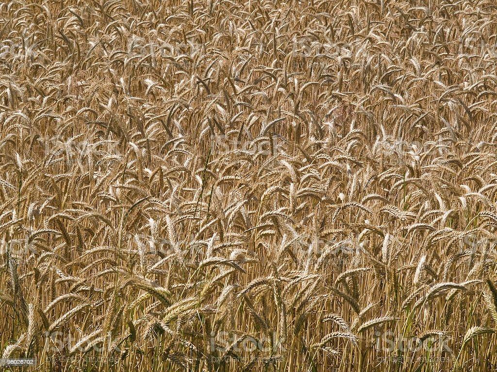 Wheat grain field summer background royalty-free stock photo