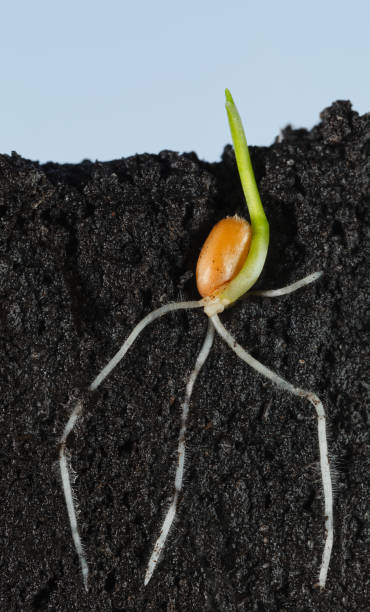 Wheat grain growing in organic soil stock photo