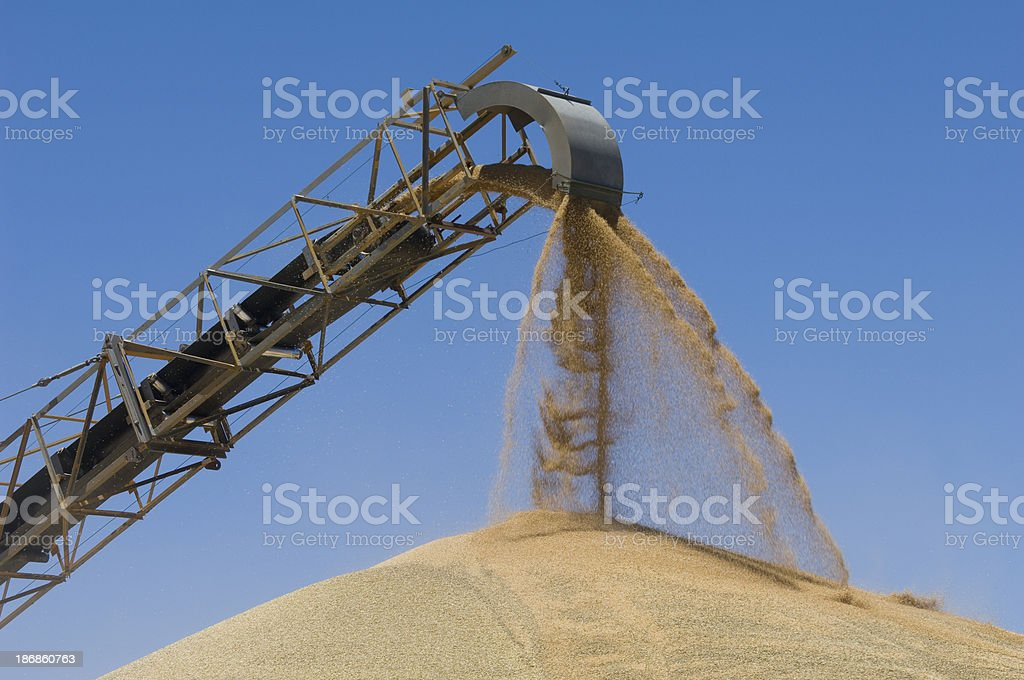 Wheat grains being loaded by conveyor onto a stockpile. royalty-free stock photo