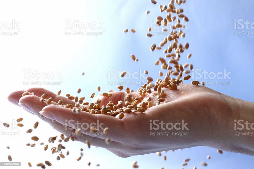Wheat grains falling into the palm of a hand royalty-free stock photo