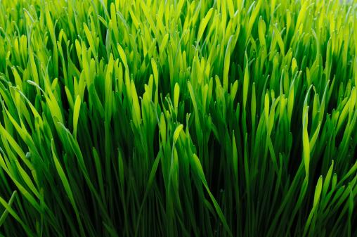 wheat grass back lit.
