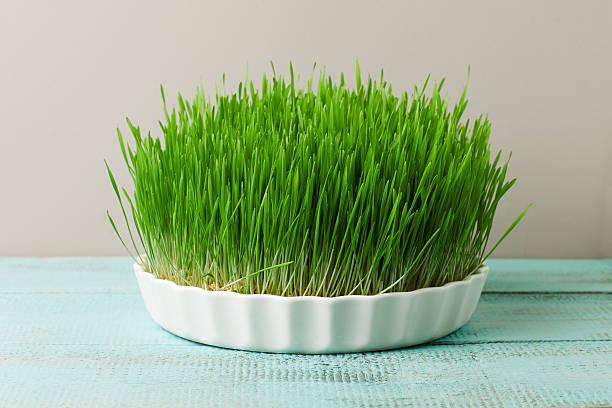 Weizen Gras für-Saftkur und gesundes Leben. – Foto