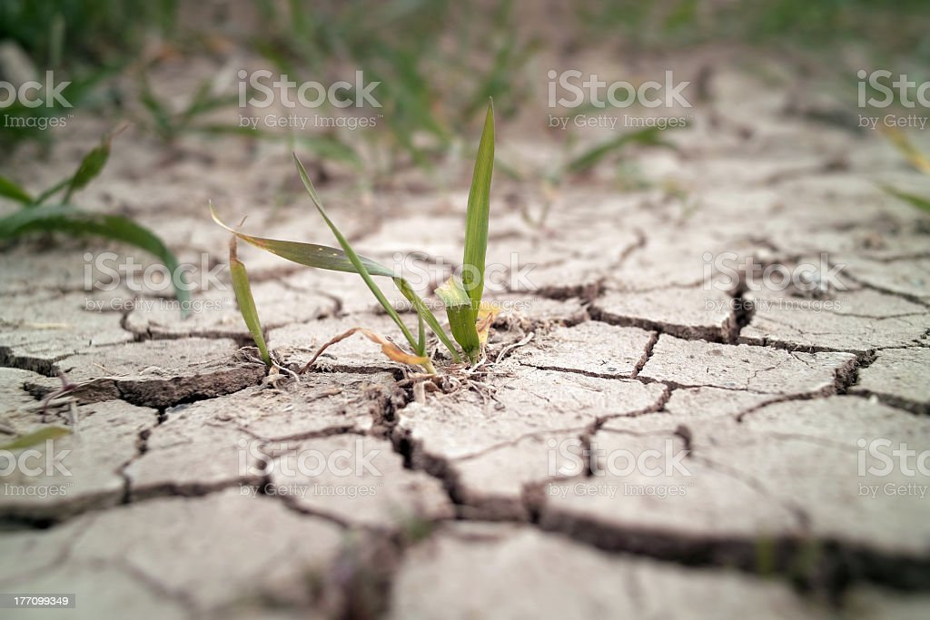 Wheat grass growing through cracks in the ground stock photo