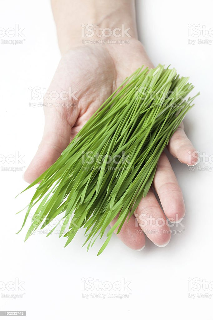 wheat grass in hands stock photo