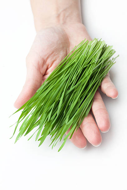 Weizen Gras in den Händen – Foto