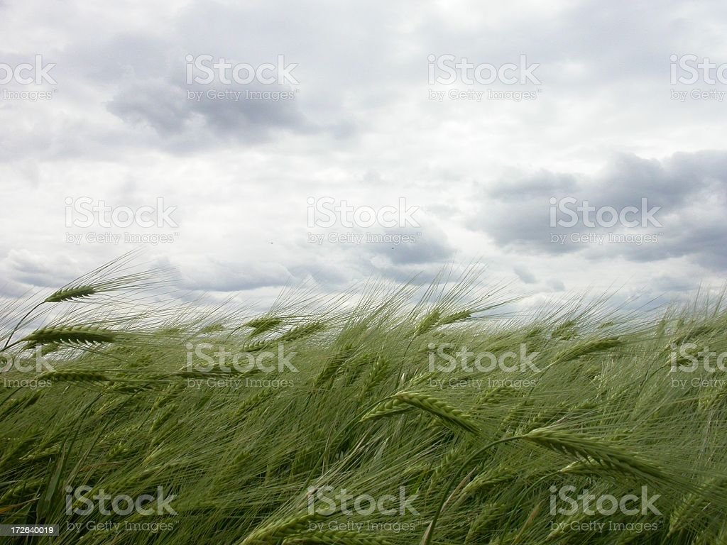 Wheat grass in the wind and clouds stock photo