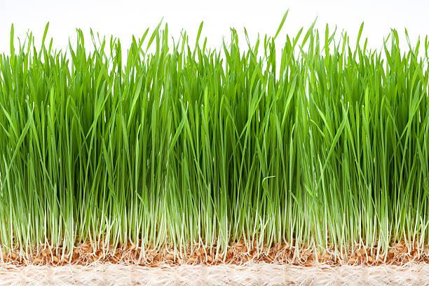 Weizen Gras – Foto