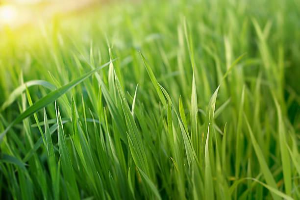 erba di grano - filo d'erba foto e immagini stock