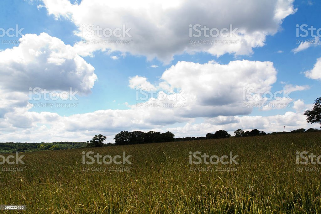 Wheat growing in a field in the Chilterns foto royalty-free