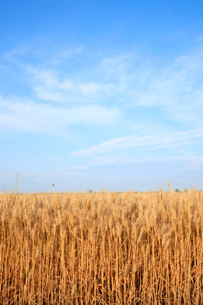 wheat growing stock photo