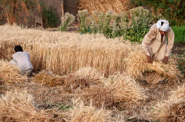 Weizenernte in Ägypten – Foto