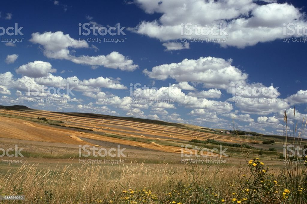 Wheat harvest time in eastern North Dakota with puffy cumulus clouds on beautiful late summer day stock photo