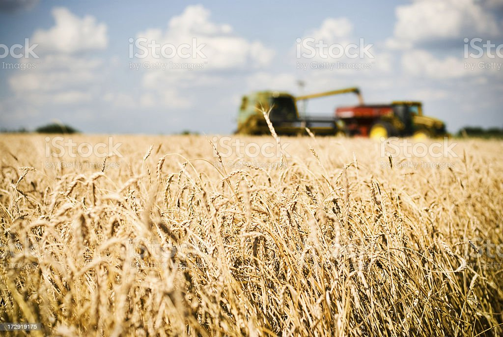 Wheat Harvest Time royalty-free stock photo