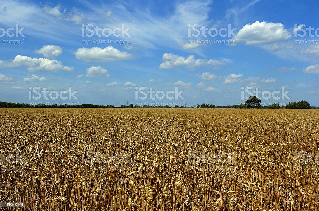 wheat harvest time stock photo