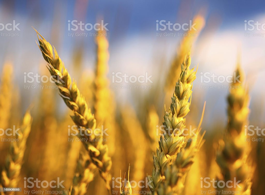 Wheat in a field,closeup. royalty-free stock photo