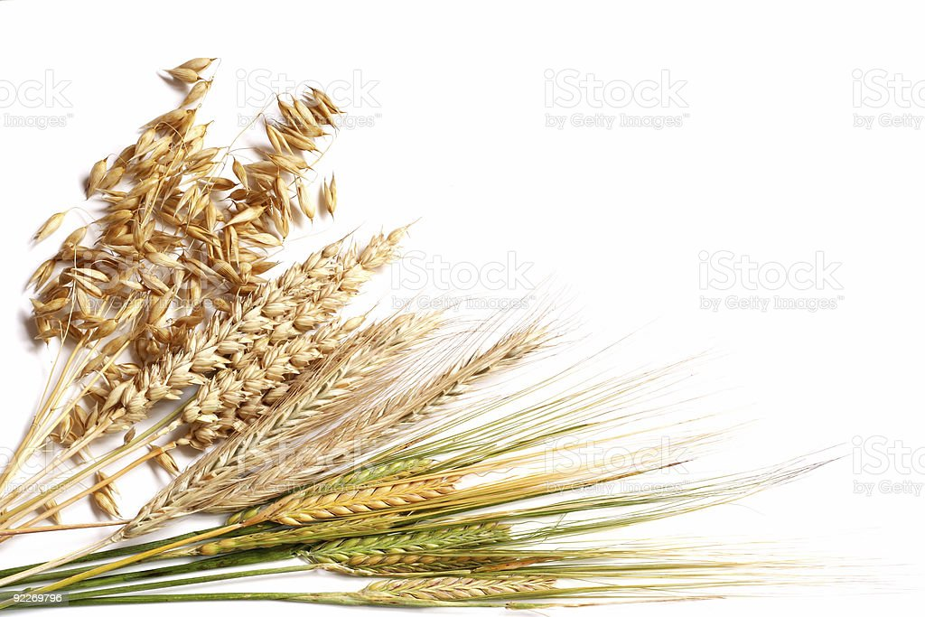 Wheat in different stages of ripeness on a white background stock photo