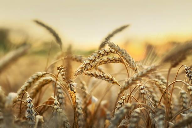 Wheat in early sunlight stock photo