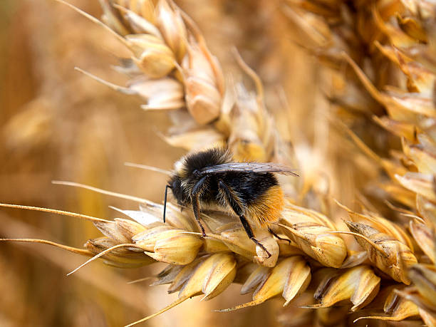 Wheat in Field, with Bee stock photo