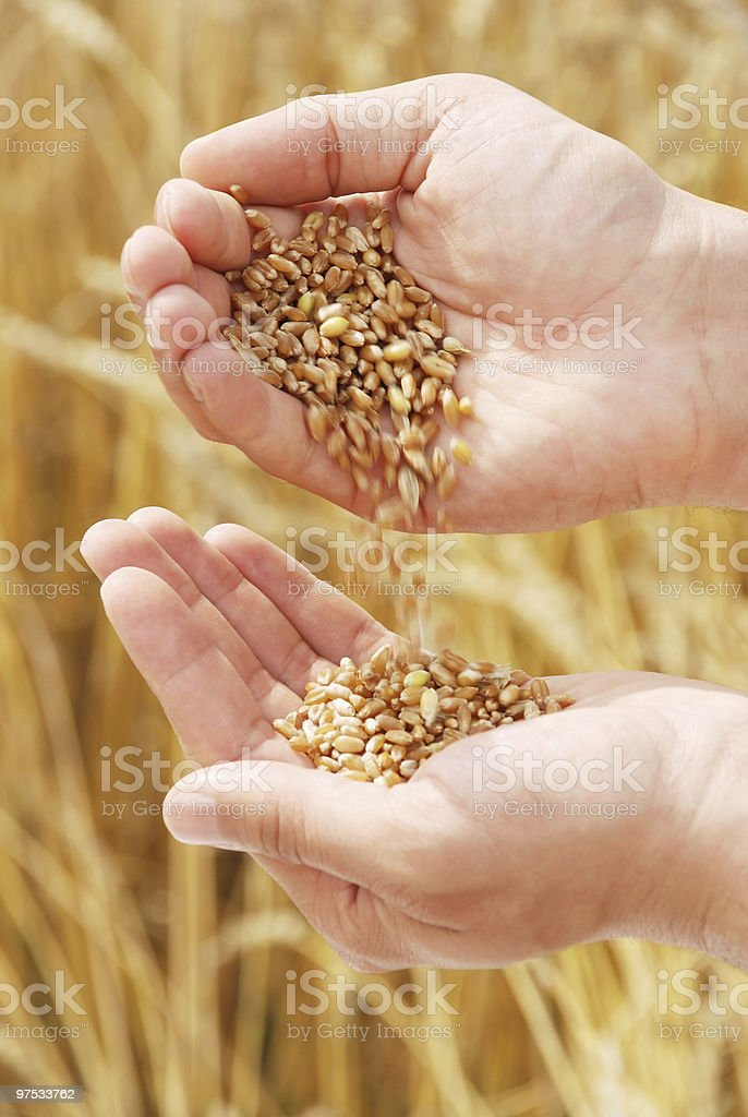 Wheat in hands of the person royalty-free stock photo
