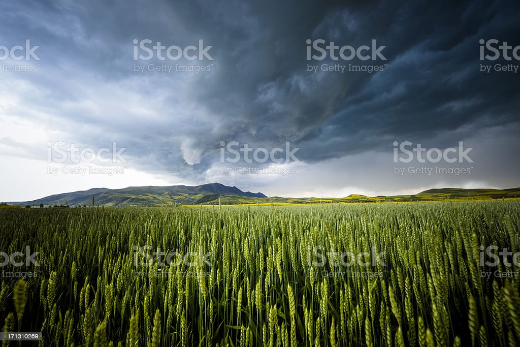 wheat in storm royalty-free stock photo