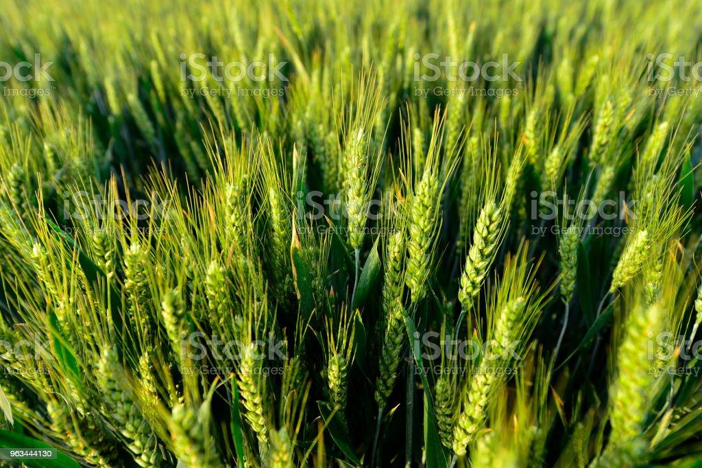 Buğday alanında - Royalty-free Arpa Stok görsel