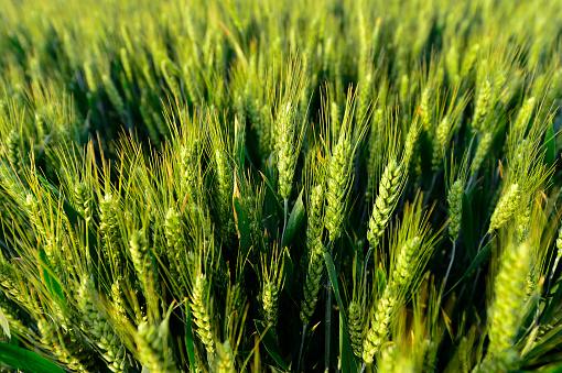 Buğday Alanında Stok Fotoğraflar & Arpa'nin Daha Fazla Resimleri