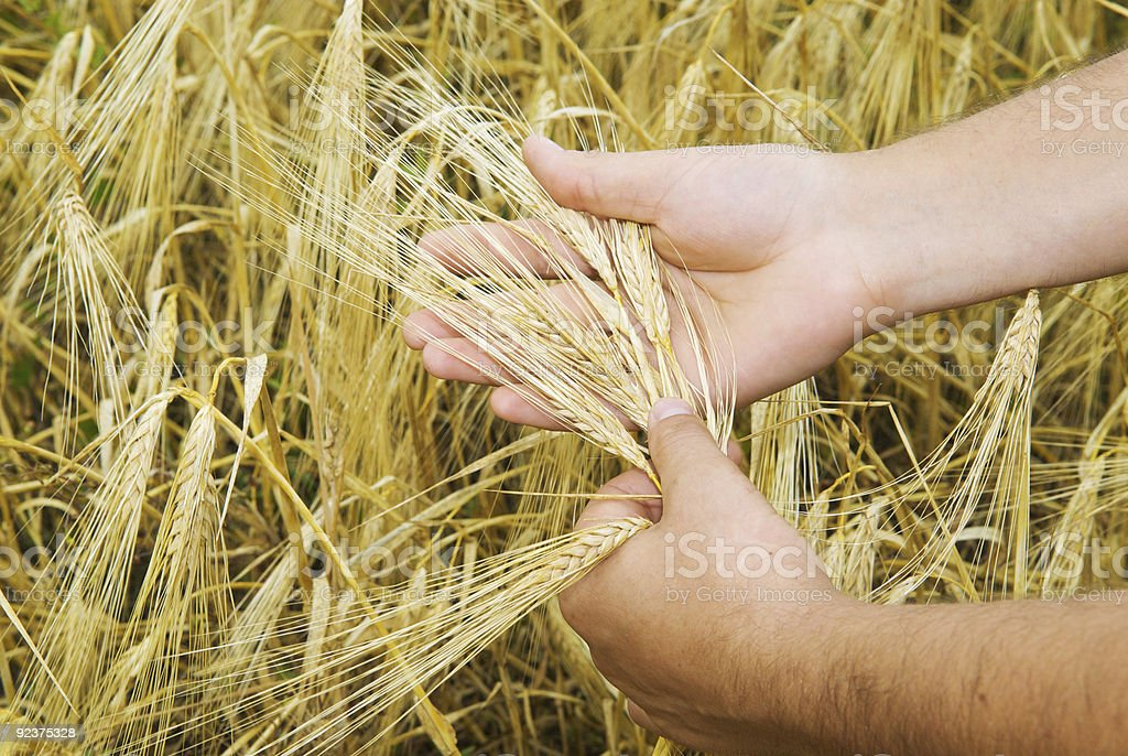 wheat in the hands royalty-free stock photo