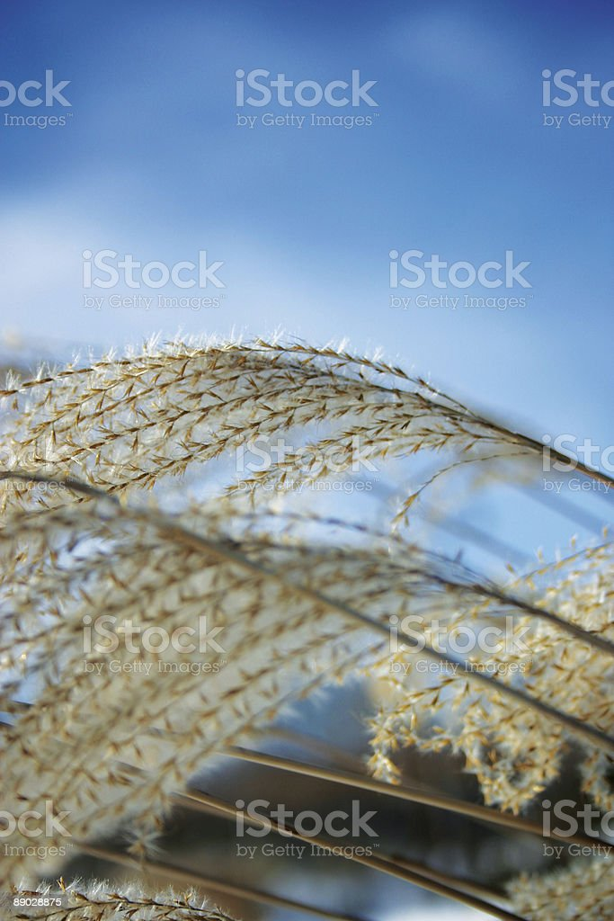 Wheat looking plant royalty-free stock photo